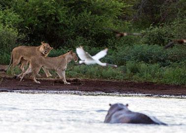معركة عنيفة بين أسد وفرس النهر